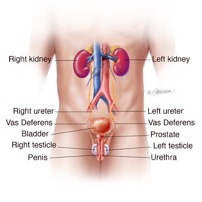 Male Urinary Tract
