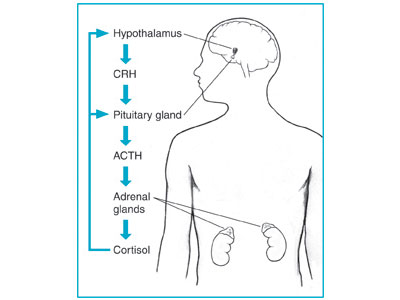 The hypothalamus sends CRH to the pituitary, which responds by secreting ACTH.  ACTH then causes the adrenals to release cortisol into the bloodstream.