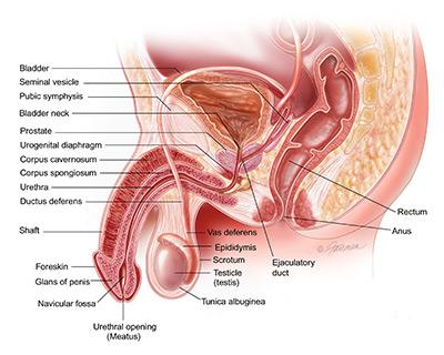 Krónikus prosztatitis Prostate Hyperplasia)